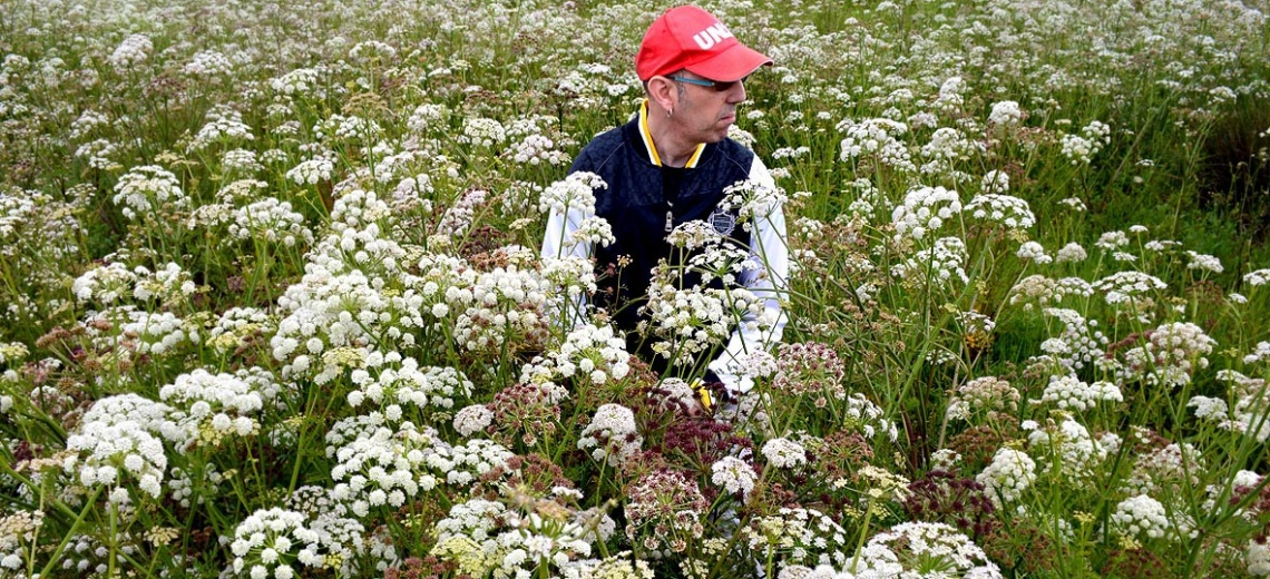 A man sitting alone in a field of white and green flowers.