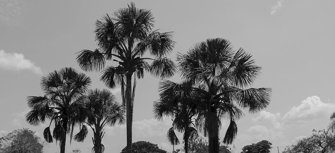 Black and white photograph with palm trees.