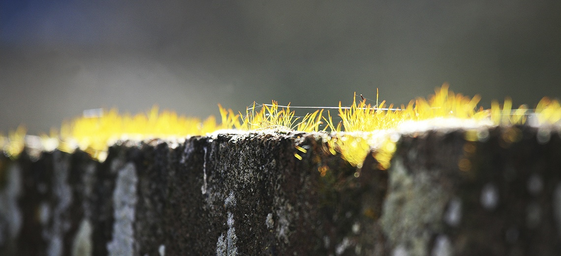 A close up photograph of yellow spiky grass on top of stone.
